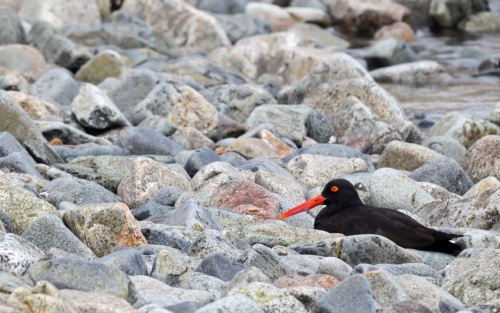 Oyster Catcher in the Rocks by Raymond Lavoie